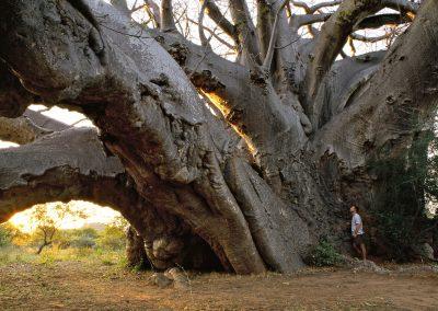 Andansonia digitata - (Baobab - Afrique du Sud)
