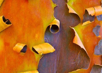 Arctostaphylos obispoensis - (Manzanita de San Luis Obispo - USA)