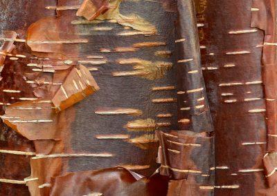 Betula utilis 'Wakehurst Chocolate (Bouleau chocolat - Angleterre)