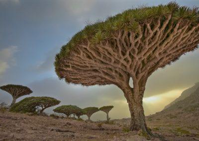 Dracaena cinnabari - (Sang dragon de Socotra - Yémen)