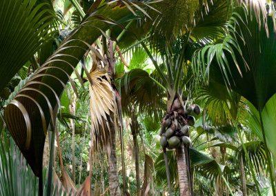 Lodoicea maldivica - (Coco de mer - Seychelles)