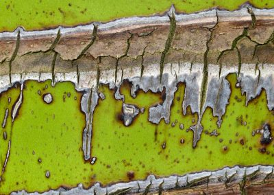 Rhopalostylis sapida - (Palmier Nikau - Nouvelle-Zélande)