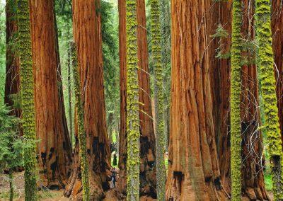 Sequoiadendron giganteum - (Séquoia géant - USA)