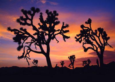 Yucca brevifolia - (Arbre de Josué - USA)